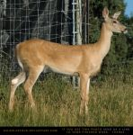 Whitetail Doe 2 by SalsolaStock