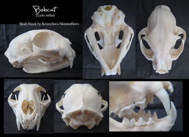 Skull Stock: Bobcat by Krissyfawx