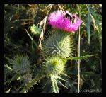 Bumble Bee on Thistle by LetsAllBeNuerotic