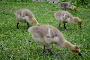 Spring Ducklings by mattconnect