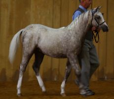 Welsh Pony Stock by blaisedrew62