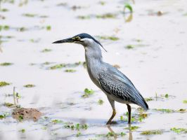 Striated Heron by nordfold