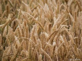 Wheat by ChessW24