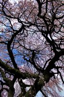weeping cherry 2 by tiny-sparrow