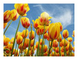 Tulip Time in Istanbul III by WhiteWay