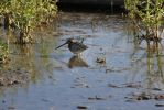 Wilson's Snipe. by theresashaw