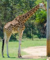Giraffe 06 by Indefinitefotography
