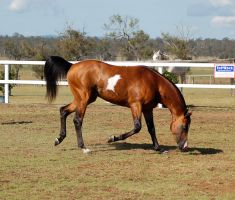 GE arab pinto trot side on nose to ground by Chunga-Stock