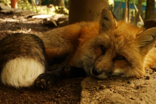 Foxes at Zao fox village 203 by lycanthrope1021