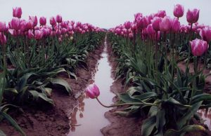 tulip festival 3 by JensStockCollection