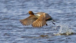 Northern Pintail Blasts Off by Grouper