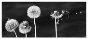 Dandelion by salviphoto