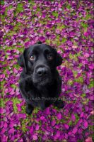 my cute Labrador by Lenna3