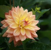 dahlias in cologne 4 by ingeline-art