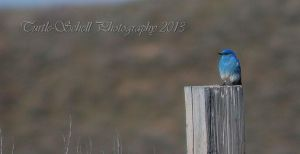 Bluebird by melly4260