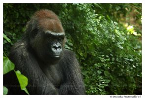 Gorilla Portrait by TVD-Photography