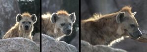 Animals - Hyena 2 by MoonsongStock