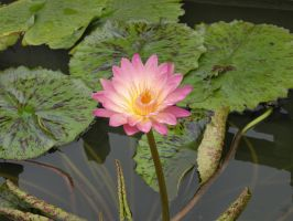 Water Lily by sinxelegance