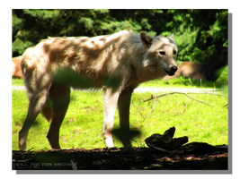 Artic Wolf in the Shade by WillFactorMedia