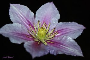 Clematis blossom2 by Yoonett