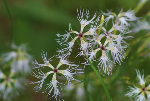 Dianthus superbus by Nesihonsu