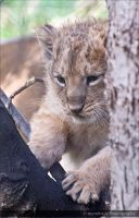 Chakra The Lion Cub 0668n by mym8rick