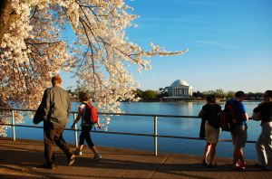 cherry blossom in DC by StillWilde