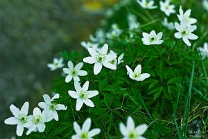 """Anemone Nemorosa"" by Machirude"