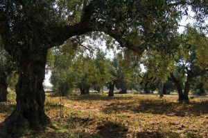 olive grove by Wilithin