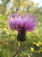 Melancholy Thistle by musicalcat