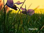 Purple flowers in sunset by TheLarii