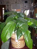 Peace Lily by Hannah2070