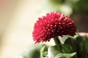 Red Bellis Perennis by Skaldur