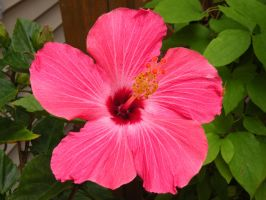Apricot Hibiscus by DJCandiDout