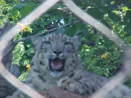 Snow Leopard through fence by imerald