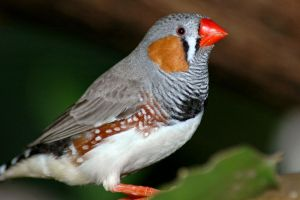 Male Zebra Finch by mentaldragon