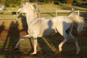 JA Arab Grey Hollow trot by Chunga-Stock