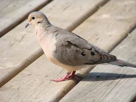 Portrait of a Dove 2 by roamingtigress