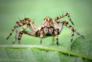 Oxyopes ramosus by Dark-Raptor