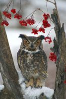 Great Horned Owl III by Naarah