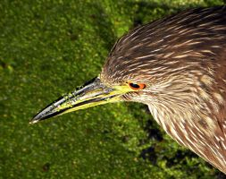 Black-crowned Night-Heron by flowerhippie22