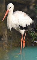 Wading Stork by priwax