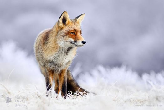 The Red, White and Blue - Red Fox in white wintery by thrumyeye