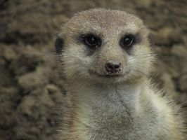 Meerkat Face by ascenciok