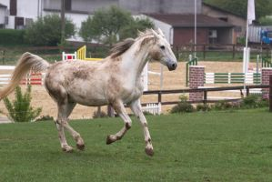 White Warmblood Cantering on Pasture by LuDa-Stock