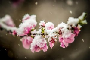 early spring blossom by digidreamgrafix