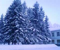 Fir tree in snow by birographic