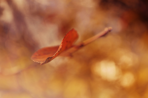 Autumnal Leaves by Symphonyy3