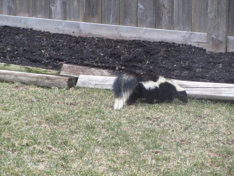 In My Backyard: Giant Skunk!! by Dakari-King-Mykan