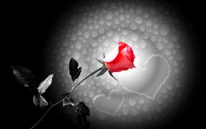 ..Red Rose.. by harrykrizz